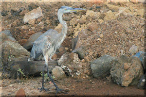 Great Blue Heron (Ardea herodias) Scouting the Beach, Baltra Island