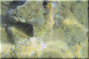 Throatspotted Blenny (Malacoctenus tetranemus) Cool Striped Eyes, Bartolom� Island