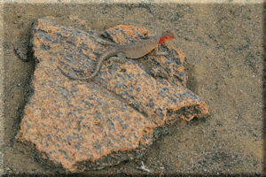 Red Headed Lava Lizard (Tropidurus), Bartolom� Island