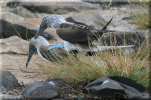 Blue-footed Boobies (Sula nebouxii) Making Babies