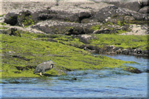 Juvenile Great Blue Heron (Ardea herodias) Surveying the Water from Mossy Lava Rocks, Fernandina Island