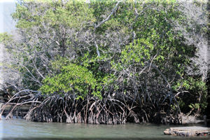 Red Mangroves (Rhizophora mangle), Fernandina Island