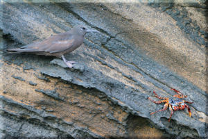 Brown Noddy Tern (Anous stolidus) Staring Down a Crab (Grapsus grapsus), Isabela Island