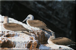 Blue-footed Boobies (Sula nebouxii) On Guano Covered Cliffs, Isabela Island