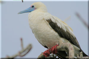 Red-footed Booby (Sula sula) Adult with White Morphology, Genovesa Island