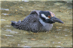 Juvenile Yellow Crowned Night Heron (Nyctanassa violacea) Cooling Off in the Water, Genovesa Island
