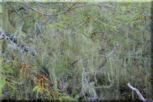 Dry Forest Teeming with Lichen, San Cristobal Island