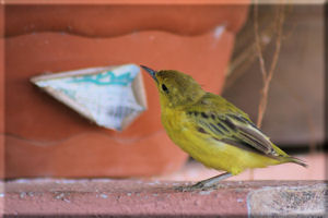 Yellow Warbler (Dendroica petechia) Looking for a Handout, San Cristobal Island