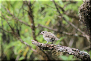 Meduim Ground Finch (Geospiza fortis) one of Darwin