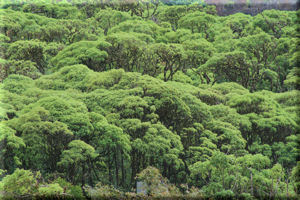 Lush, Green Tree Tops in the Highlands, Santa Cruz Island